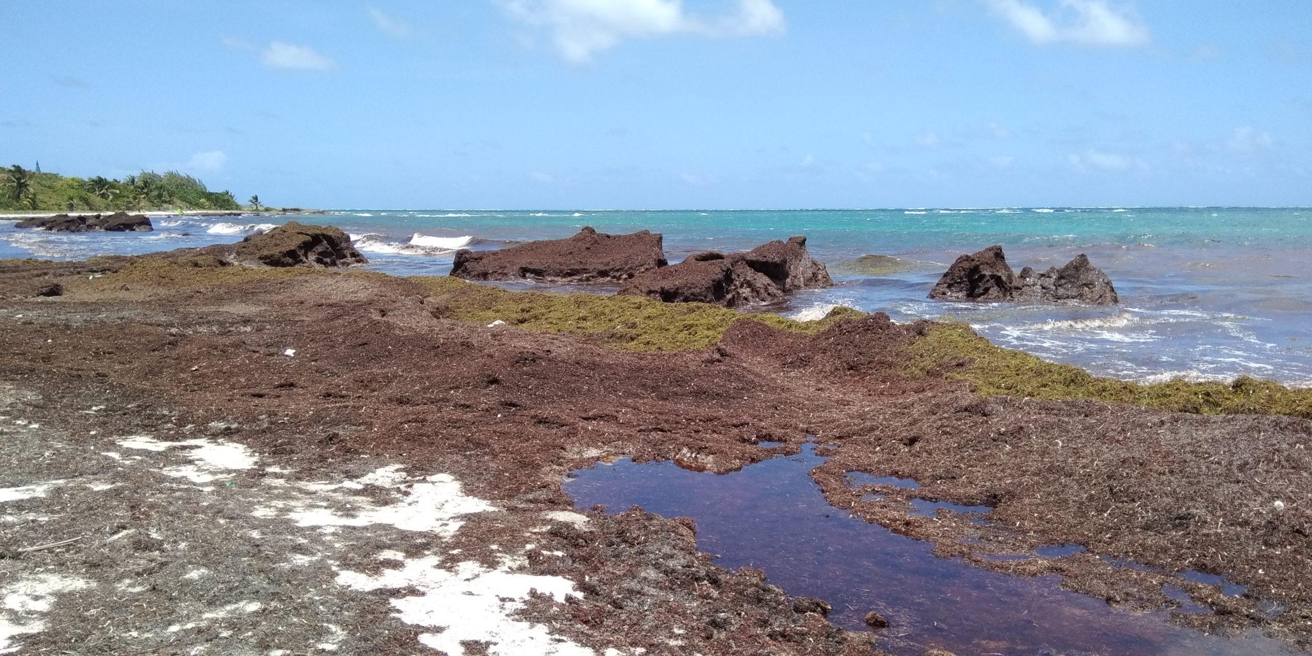Prolifération des algues Sargasses : l'État laisse nos compatriotes antillais livrés à eux-mêmes