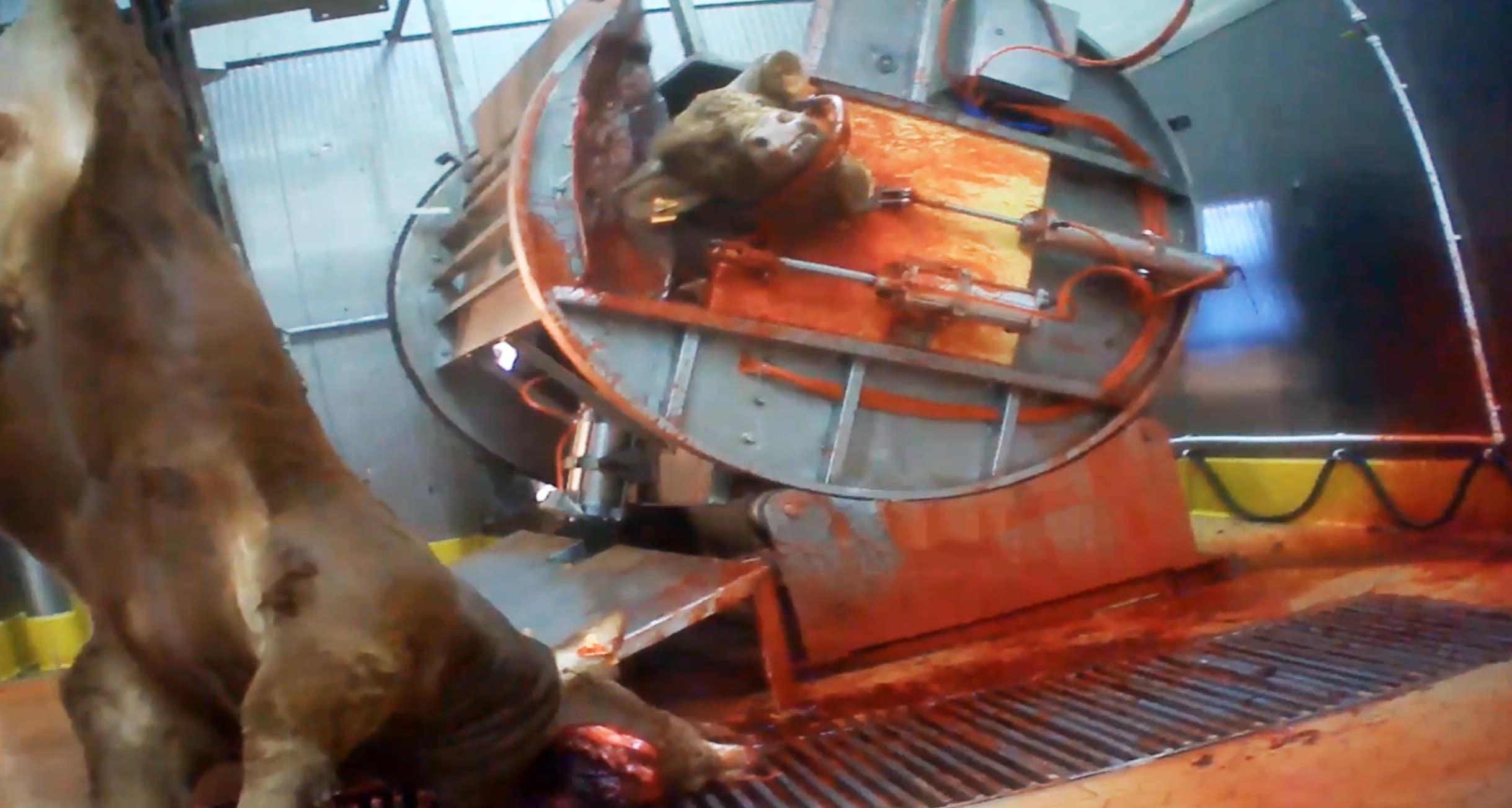 Images atroces d'un abattoir en Dordogne : le laxisme et la faiblesse à l'œuvre