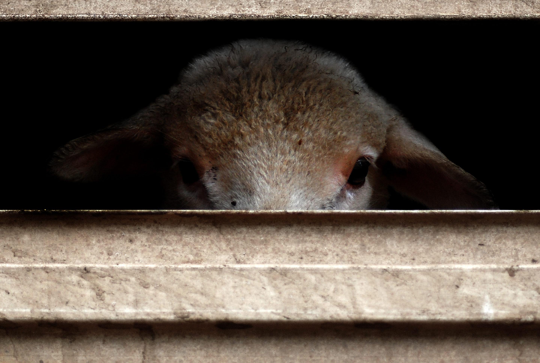 Le futur label européen sur le bien-être animal doit couvrir l'élevage, le transport et l'abattage.